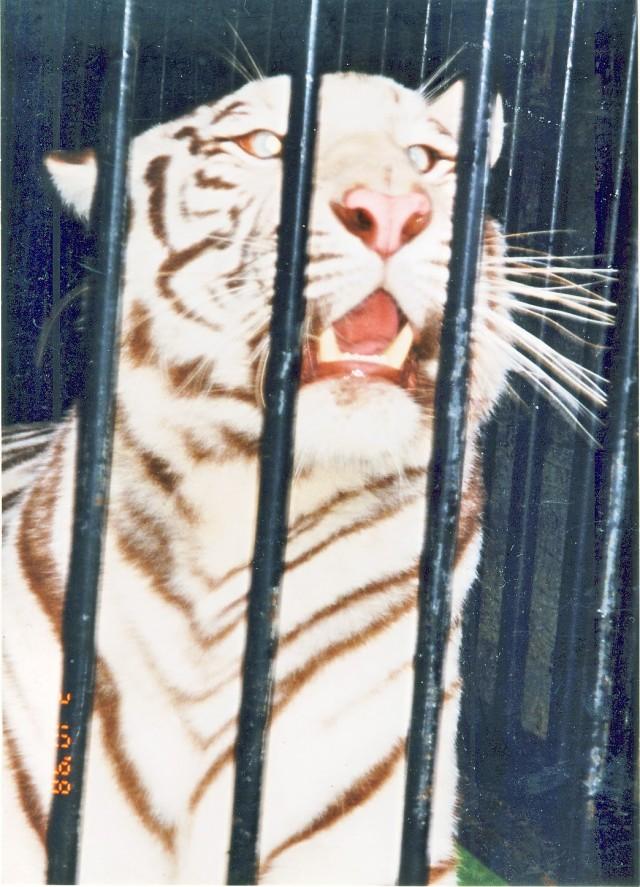 Riverglen tiger on display for public