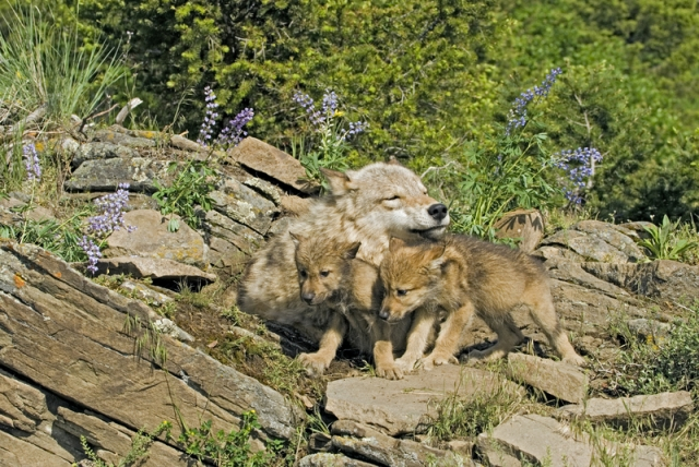 A wolf family