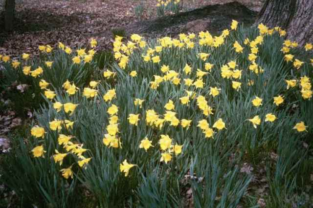 A field of jonquils