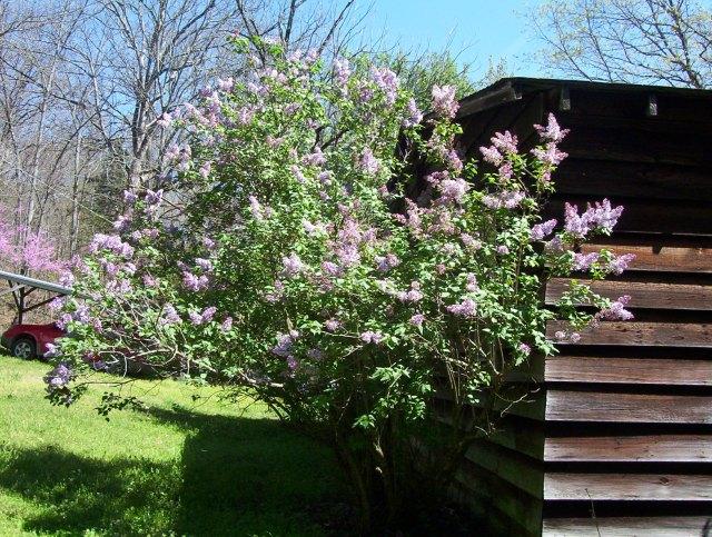 lilacs redbuds 005