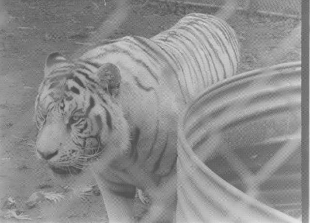 white tiger (2)